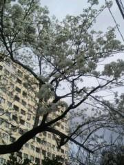 ジャガー横田 公式ブログ/満開の桜…(*^^*) 画像2