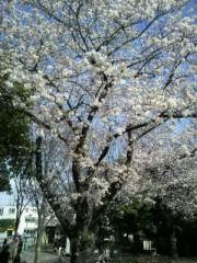 ジャガー横田 公式ブログ/桜も頑張っています…(*^^*) 画像2
