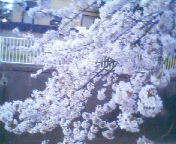 天地総子 公式ブログ/桜満開 画像1