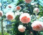 天地総子 公式ブログ/薔薇 画像2