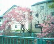 天地総子 公式ブログ/平和の使者「陽光桜」 画像2