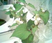 天地総子 公式ブログ/ドクダミの白い花 画像2