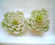 天地総子 公式ブログ/変わったミニ植物 画像1