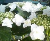 天地総子 公式ブログ/アジサイの花・紅白 画像2