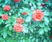 天地総子 公式ブログ/薔薇 画像1