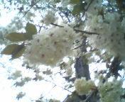 天地総子 公式ブログ/白い桜 画像1
