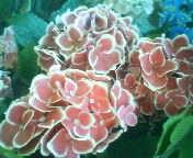 天地総子 公式ブログ/アジサイの花・紅白 画像1