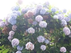 SONOMI 公式ブログ/紫陽花 画像1