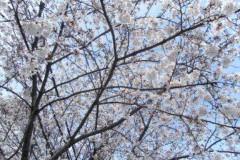 SONOMI 公式ブログ/桜 画像1