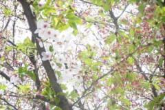 SONOMI 公式ブログ/桜から緑へ 画像1