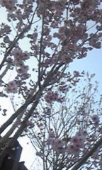 朝比奈ゆうひ 公式ブログ/ 近所の桜⊂(*^ω^*)⊃ 画像2