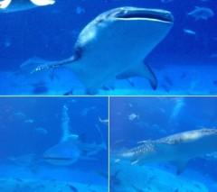朝比奈ゆうひ 公式ブログ/美ら海水族館(・ω・)ノ  画像2