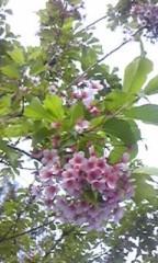 朝比奈ゆうひ 公式ブログ/ 近所の桜⊂(*^ω^*)⊃ 画像1