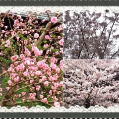 朝比奈ゆうひ 公式ブログ/桜が満開*\(^o^)/* 画像1