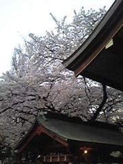 朝比奈ゆうひ 公式ブログ/ 神社の桜も満開⊂(*^ω^*)⊃ 画像2