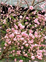 朝比奈ゆうひ 公式ブログ/桜が満開*\(^o^)/* 画像2