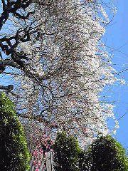 朝比奈ゆうひ 公式ブログ/桜が満開( *бωб) 画像3