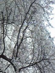 朝比奈ゆうひ 公式ブログ/桜が満開( *бωб) 画像1