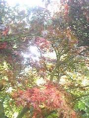 朝比奈ゆうひ 公式ブログ/紅葉が綺麗です⊂(*^ω^*)⊃ 画像1