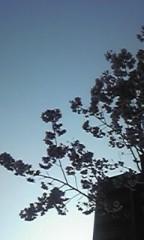 朝比奈ゆうひ 公式ブログ/ 近所の桜⊂(*^ω^*)⊃ 画像3