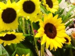 FLOWER 公式ブログ/向日葵。 千春 画像1