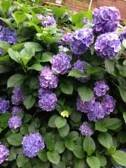 FLOWER 公式ブログ/紫陽花  杏香 画像1