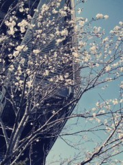 FLOWER 公式ブログ/さくら!はるみ 画像1