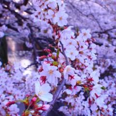 石田晃久 公式ブログ/目黒川ほぼ満開 画像1