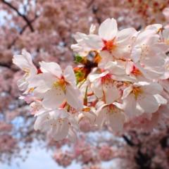 石田晃久 公式ブログ/桜満開 画像2