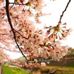 石田晃久 公式ブログ/桜満開2 画像2