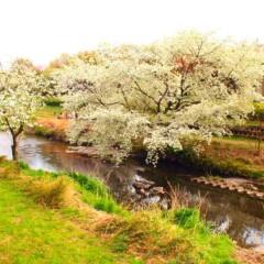 石田晃久 公式ブログ/桜満開2 画像3