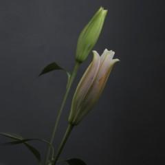石田晃久 公式ブログ/まだつぼみ 画像1