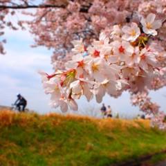 石田晃久 公式ブログ/桜満開 画像3