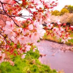 石田晃久 公式ブログ/桜咲くラストスパート 画像1