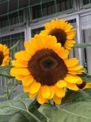 村松えり 公式ブログ/向日葵の花 画像1