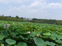 纐纈英里香 公式ブログ/蓮の花・・・ 画像1