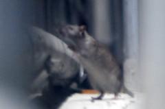 荒井英夫 公式ブログ/恐ろしきクマネズミ 画像1