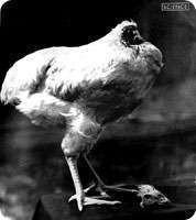 エスパー伊東 公式ブログ/奇跡の首無し鶏 画像1