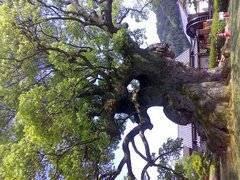 エスパー伊東 公式ブログ/巨木 画像1