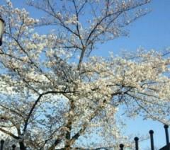 マナ 公式ブログ/桜!! 画像1