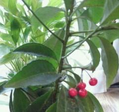 マナ 公式ブログ/赤い実 画像1