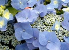 マナ 公式ブログ/紫陽花 画像1