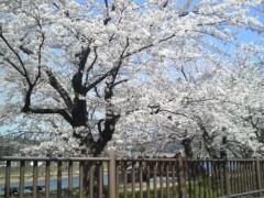 木下博勝 公式ブログ/角館の桜、満開です 画像2
