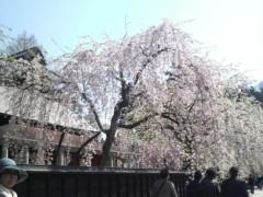 木下博勝 公式ブログ/角館の桜、満開です 画像1