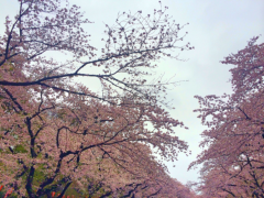 新垣直人 公式ブログ/桜の時 画像1