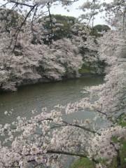 新垣直人 公式ブログ/千鳥ヶ淵の桜 画像1