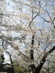新垣直人 公式ブログ/桜満開! 画像3