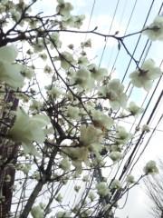 新垣直人 公式ブログ/今年もモクレン全開! 画像1
