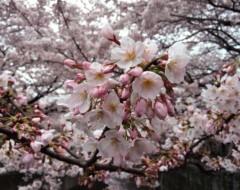 新垣直人 公式ブログ/桜の季節 画像3