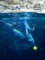 佐藤未帆 (しながわてれび出演ブログ) 公式ブログ/海遊館 イルカ (カマイルカ) 画像1